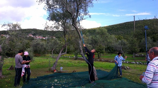 Olive Harvest in Luštica, Montenegro by Jets Like Taxis