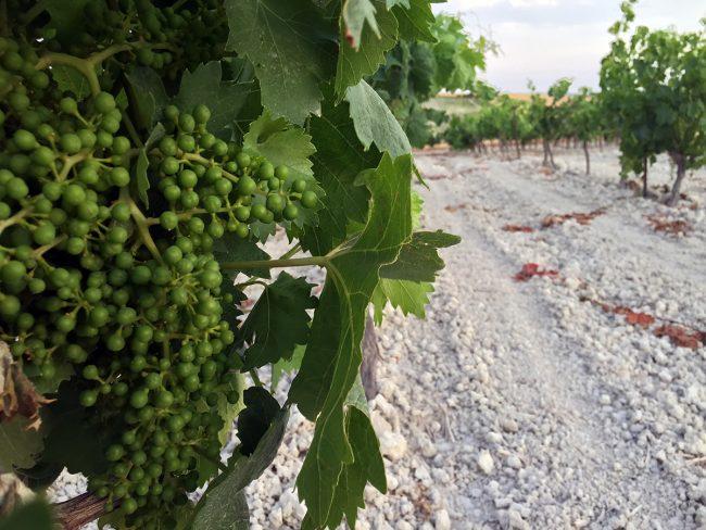 Vineyards in Trebujena, Spain by Jets Like Taxis