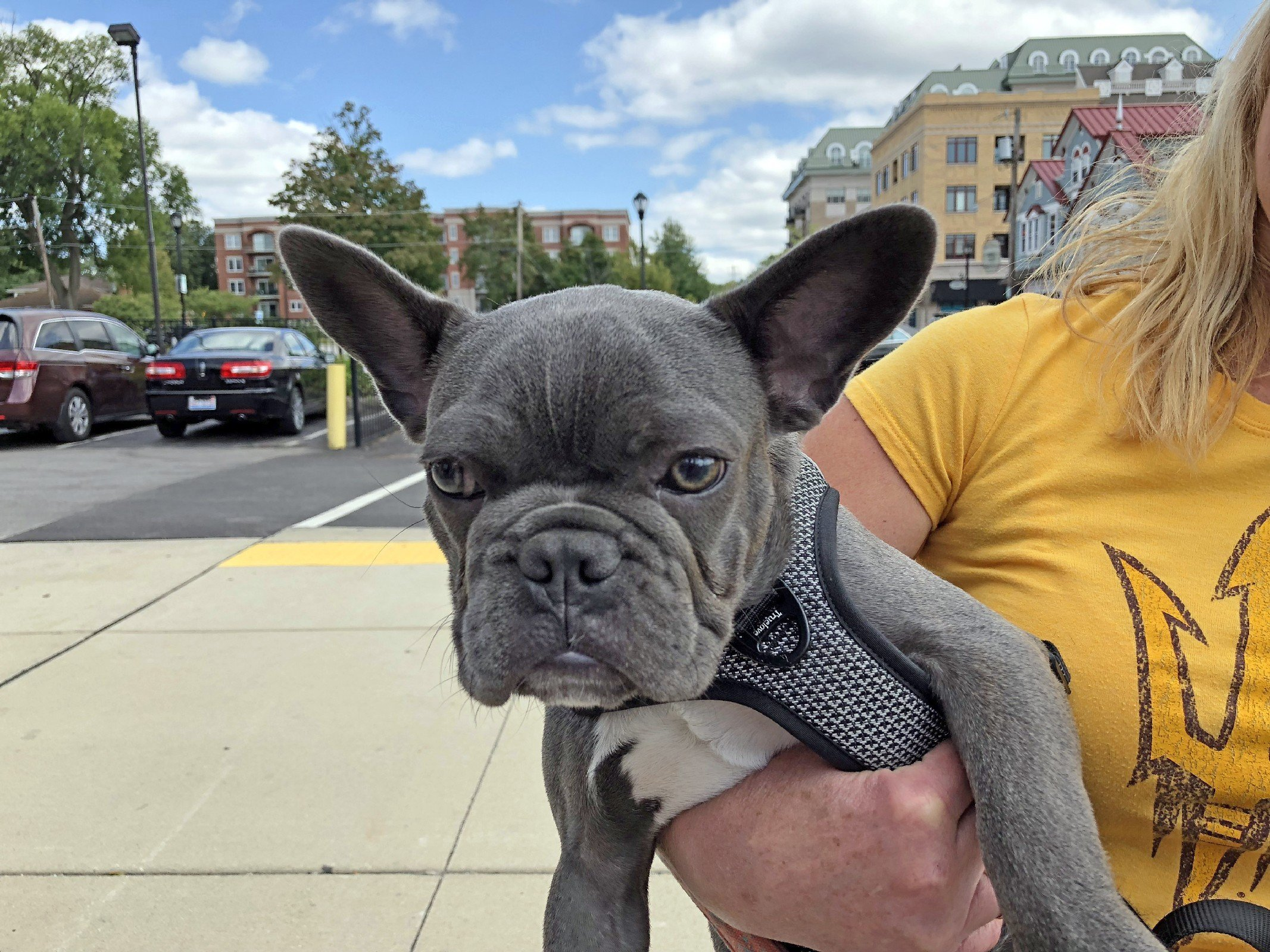 French Bulldog in Palatine, IL by Jets Like Taxis